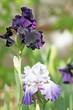 Bearded irises in garden