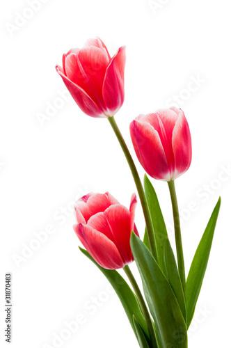 Foto op Plexiglas Tulp Rote Tulpen mit weißem Rand