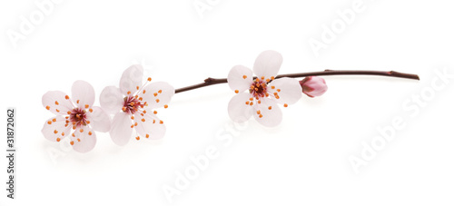 Papiers peints Cerises Branch of Japanese cherry with blossom, isolated on white