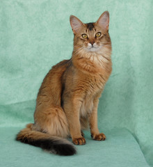 Usual female Somali cat