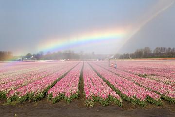 Dutch tulipfields in springtime with rainbow