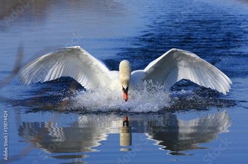 Foto op Plexiglas Zwaan Swan attack