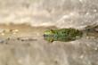 Grenouille verte et son reflet (rana esculenta)