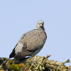 Pigeon ramier - Wood Pigeon (columba palumbus)