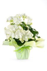 begonia in vaso su sfondo bianco
