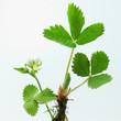 Walderdbeerpflanze