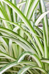 plante dépolluante, phalangère, chlorophytum