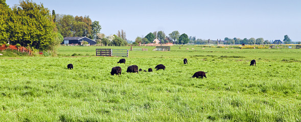 Black sheep in Dutch country landscape