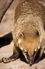 Wild Coati Feeding
