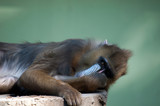 Captive Mandril resting on a log