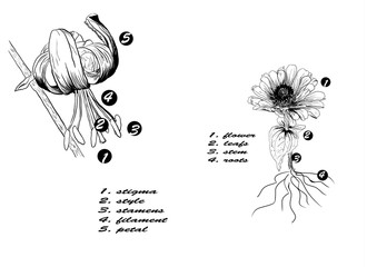 flower parts illustration