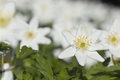 Wood anemone, macro photo