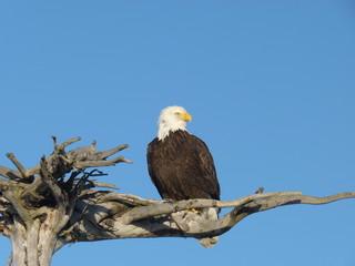 An Alaskan bald eagle sitting on a branch