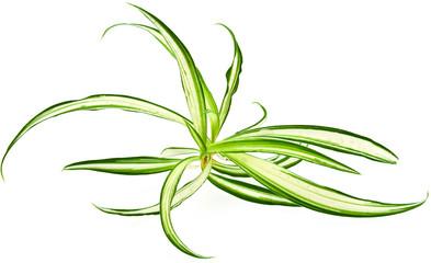 plante dépolluante, phalangère, chlorophytum comosum