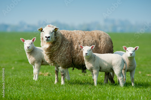 Foto op Plexiglas Schapen Mother sheep and her lambs in spring