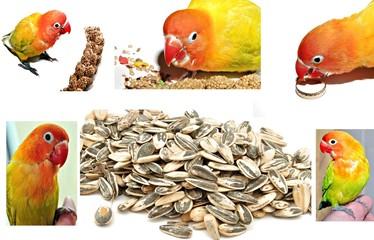 Agapornis sobre semillas de girasol