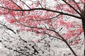 陽光桜 (東京・上野公園)