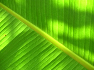 banana leaf texture: shadow