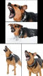 set of images with angry dog with bared teeth