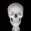 Human skull with spinal bones