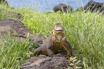 Drusenkopf (Galapagos-Landleguan) #1