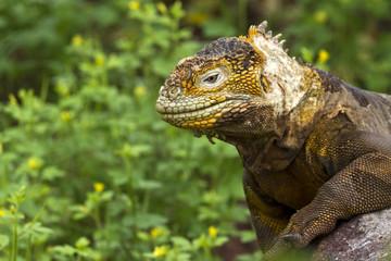 Drusenkopf (Galapagos-Landleguan) #3