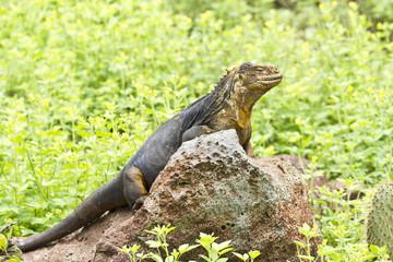 Drusenkopf (Galapagos-Landleguan) #5
