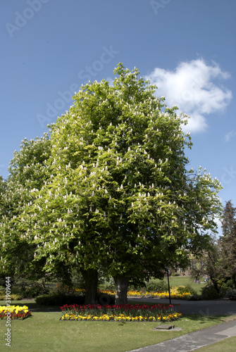 A sprading Horse Chestnut Tree under ablue spring sky