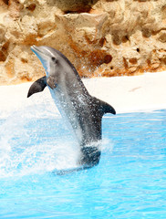 A bottlenose dolphin performing a tail stand