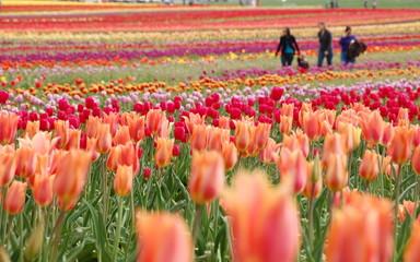 A family in tulip field