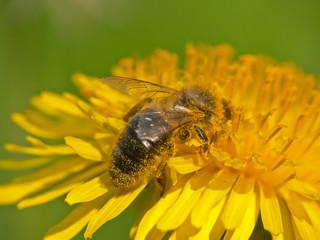biene bei nektarsuche