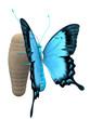 papillon et chrysalide
