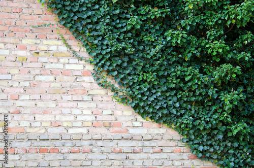 Lierre Sur Mur Mur et Lierre Photo Libre de