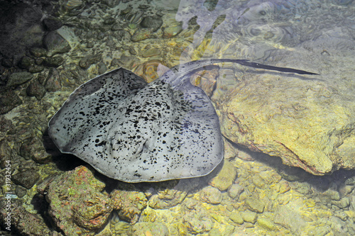 Giant spotted stingray