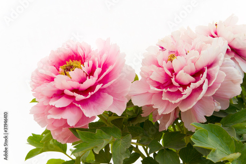 Picture Peony Flower on Pink Peony Flower By Jundream  Royalty Free Stock Photos  31946410 On