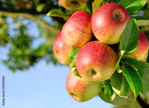 Leinwandbild Motiv Erntereife farbenfrohe Äpfel am Ast