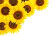 Sonnenblumen als Hintergrundverzierung