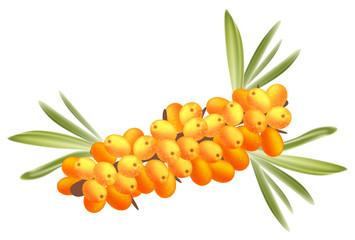 The branch of sea-buckthorn berries.