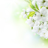 Fototapety Spring Cherry Flowers border. Orchard