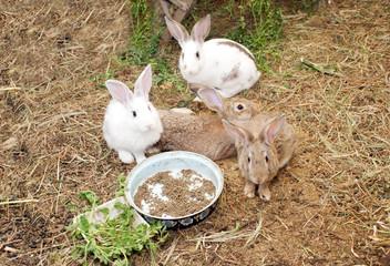 coelhos na quinta