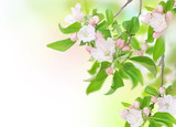 Apple Spring Flowers. Blossom Design