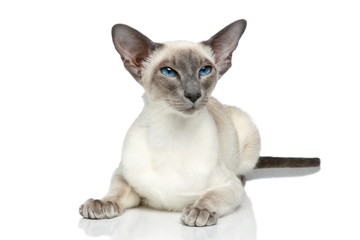 Oriental Blue-point siamese cat