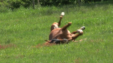Brown Horse Rolls Over In A Farmers Field