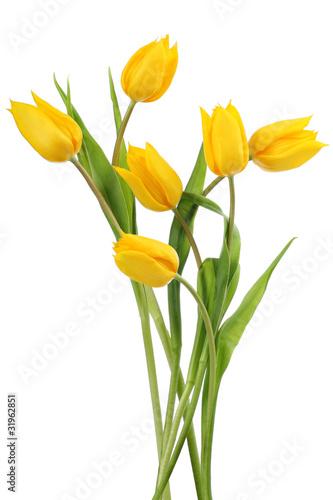 Fototapety, obrazy : Yellow tulips on white background