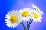 Fototapeta biały - płatki - Kwiat