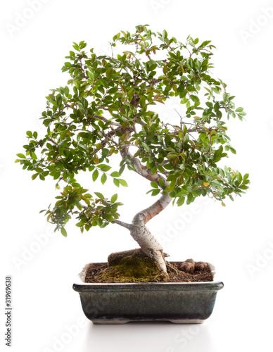 Bonsai carmona di antonio gravante foto stock royalty for Bonsai comprare