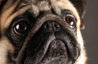 Close-up portrait of one year old mops