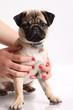 Girl holding little mops puppy in studio