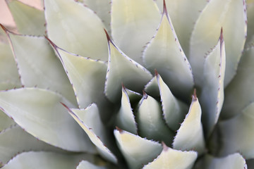 A macro photograph of an agave plant in the Arizona desert