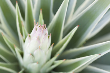 A macro photograph of an agave plant.